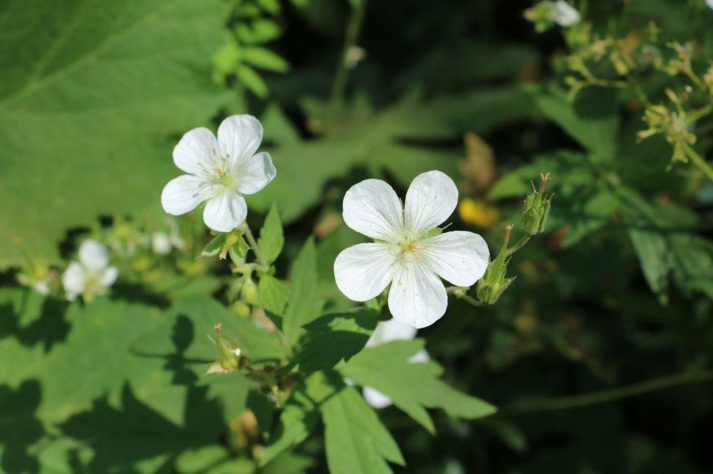 White Germanium flower, Wasatch Mountains, Utah